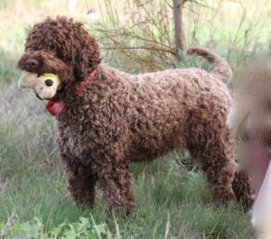 "Ducketts Prize Lineage of DCKLAGOTTO Baroness Magdalen paired with GILLENIAS WINSTON (SWEDEN) brings an outstanding King Cesare. King Cesare has won his 1st step on the ""Truffle Bench"", and will join Ducketts breeding group."